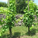 Reinheimer Weinreben (Foto: www.gersheim.de)