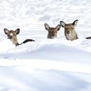 Sika-Wild im-Gehege des Heimat- und-Verkehrsvereins (Foto: Manfred Schröder)