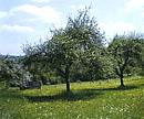 Streuobstwiese (Foto: dpa)