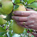 Apfelbaum (Foto: dpa)
