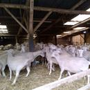 Frisch geschorene Schafe (Foto: dpa)